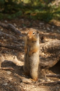 A cute little ground squirrel (we thought it was a giant chipmunk, but its not!)