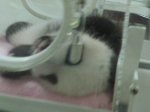 A baby panda in an incubator.  Some of the babies were even smaller than this but I couldn't really get pictures of them.