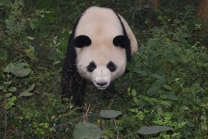 At the Chengdu Panda Reserve