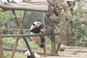 This panda was climbing up to poke and bother another panda. He was a trouble maker!