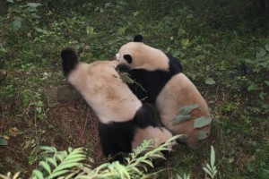 Two pandas wrestling.  They were very playful and really fun to watch!