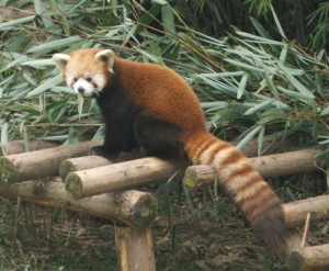 """Red Panda"" isn't it SO cute!"
