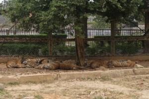 Group of Tigers (waiting for the bull?)