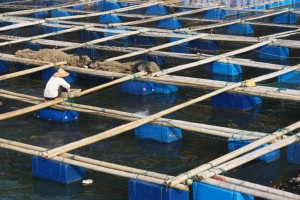 Feeding the fish on one of the floating fish farms