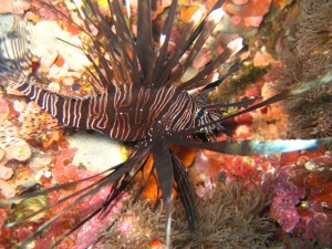Lion fish:  Pretty and DEADLY (dun dun dun...)