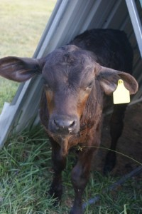 This is my favorite calf Lucky.