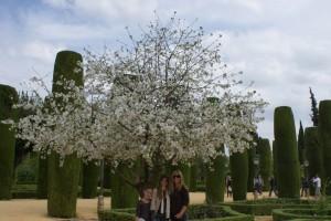 cor blooming tree